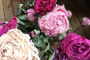 Pivoines séchées - Fleur séchée naturelle et française