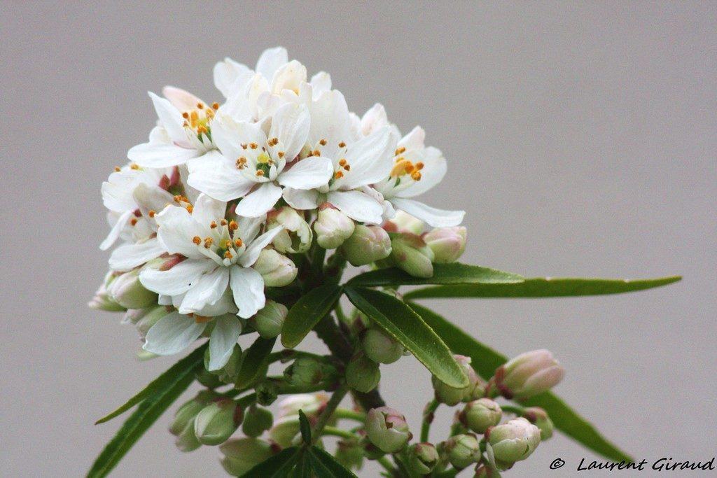 fleur d'oranger - Photo Laurent Giraud